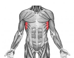Serratus from the front
