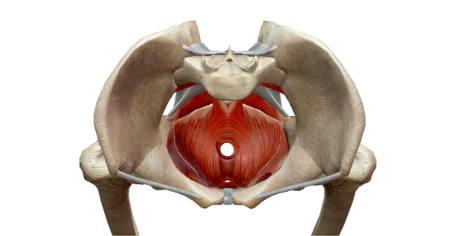 """Featured image for """"Mula Bandha Anatomically Speaking By David Keil © 2010"""""""