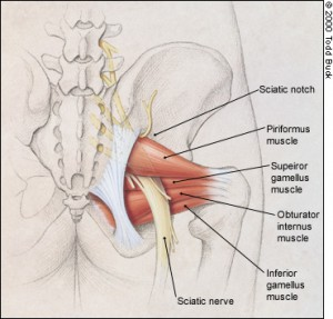 piriformis with sciatic nerve on yoga anatomy