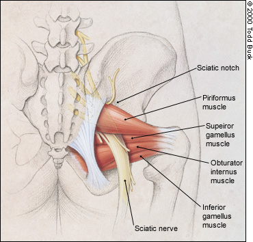 Piriformis - A real pain in the ... - Yoganatomy
