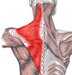 trapezius_yoga_anatomy