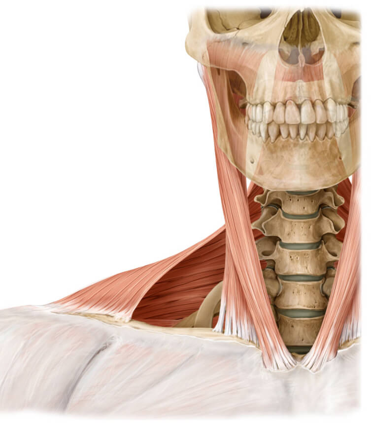 scm and trapezius
