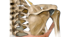shoulder joint yoga anatomy