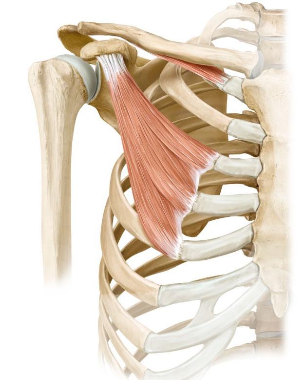 Your Shoulders in Upward Facing Dog - Yoganatomy