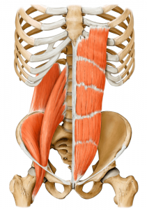 core muscles on yoga anatomy