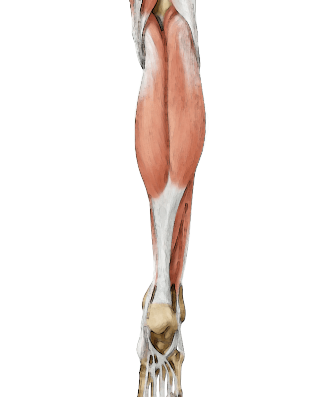 gastrocnemius muscle - 674×800