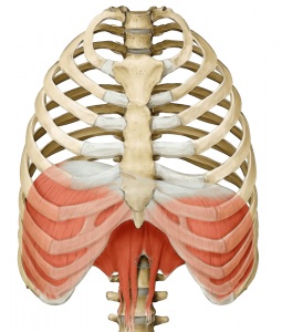 diaphragm breathing yoga anatomy