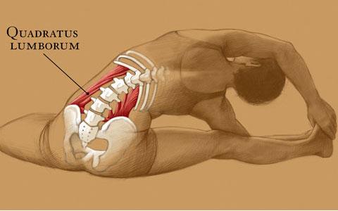 quadratus lumborum ql  anatomy of the muscle for yoga