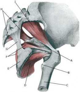 piriformis on yoga anatomy