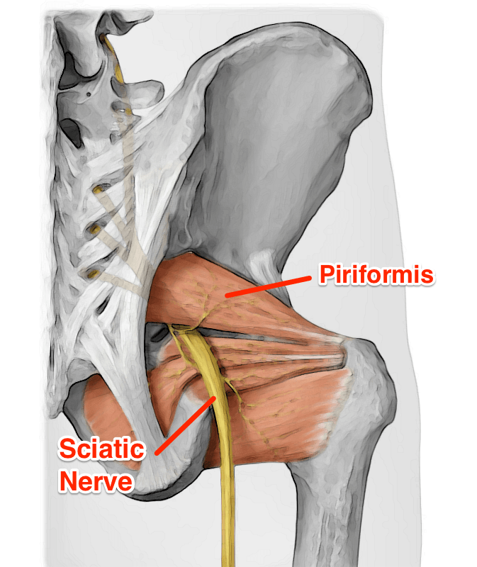 the piriformis muscle - yoganatomy, Human Body