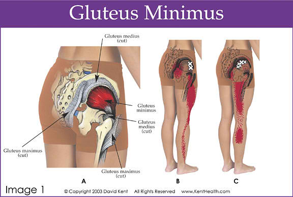 Gluteus Maximus | tenderness.co