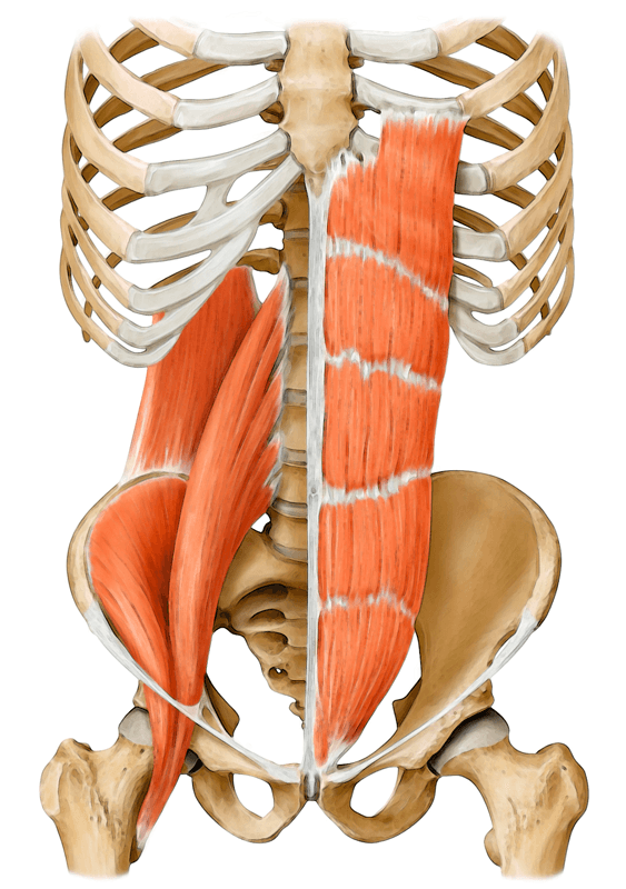 Your Core Muscles Deeper Than You Think Yoga Anatomy