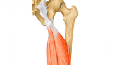 hamstring muscle yoga anatomy