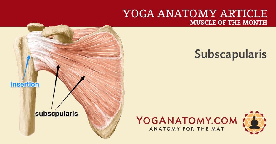 Subscapularis Rotator Cuff Muscle Yoganatomy
