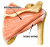Infraspinatus and Teres Minor – Rotator Cuff Muscles