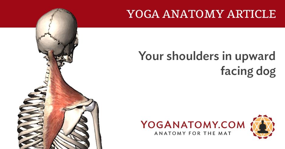 Your Shoulders In Upward Facing Dog Yoganatomy