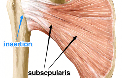 subscapularis rotator cuff muscle