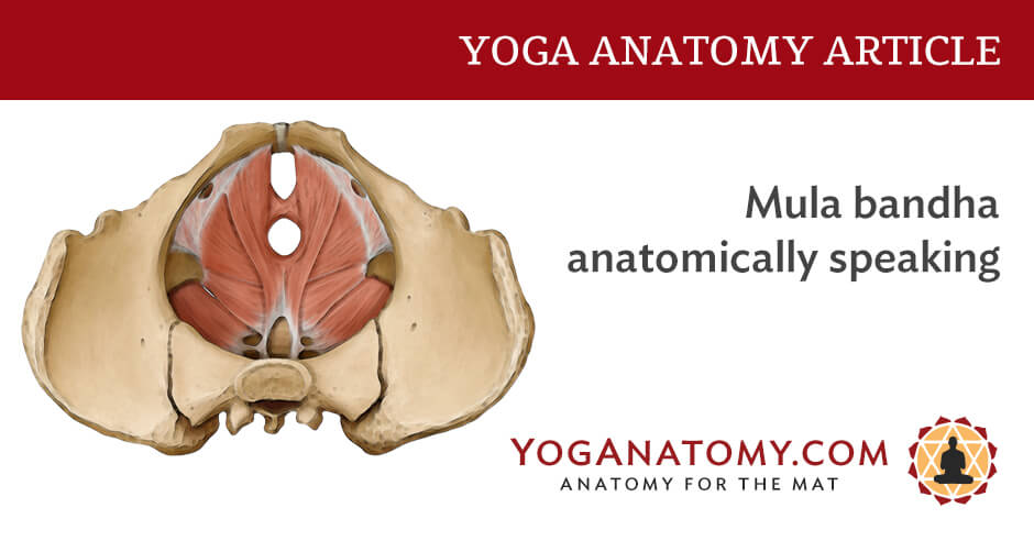 Mula Bandha Anatomically Speaking Yoga Anatomy