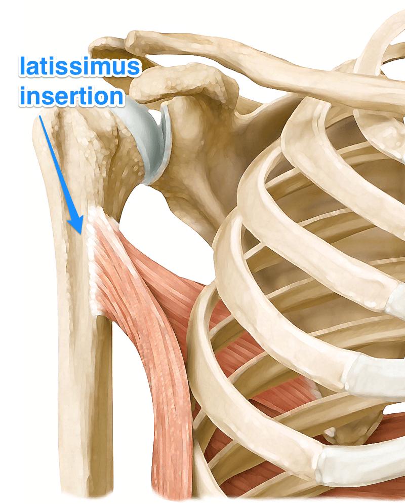 latissimus dorsi muscle
