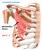 The Pectoralis Minor Muscle
