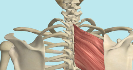 "Featured image for ""The Rhomboid Muscle"""