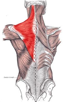 Trapezius muscle yoga anatomy