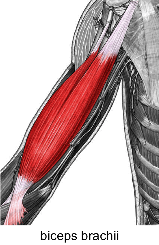Biceps Brachii Anatomy Origin Insertion Action