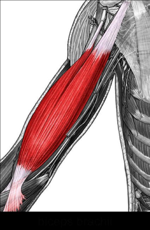 biceps-brachii