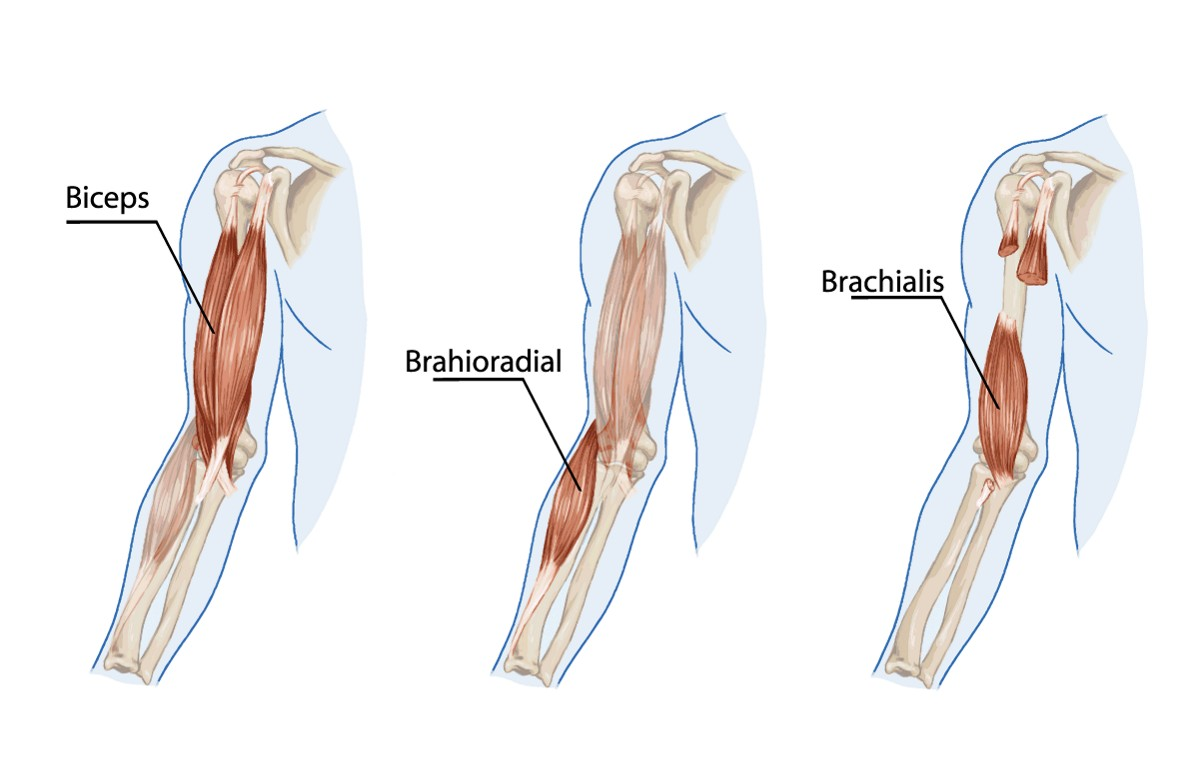 The Brachialis Muscle - Yoganatomy