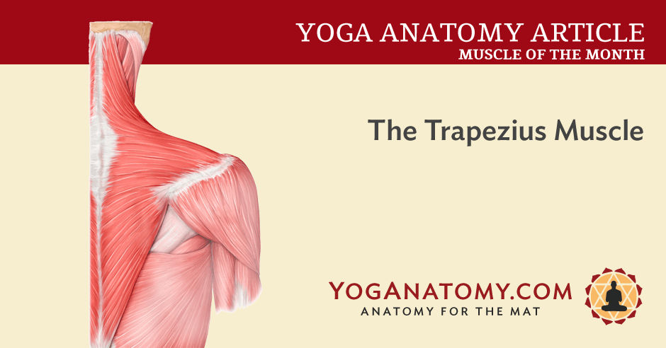 The Trapezius Muscle - Yoganatomy