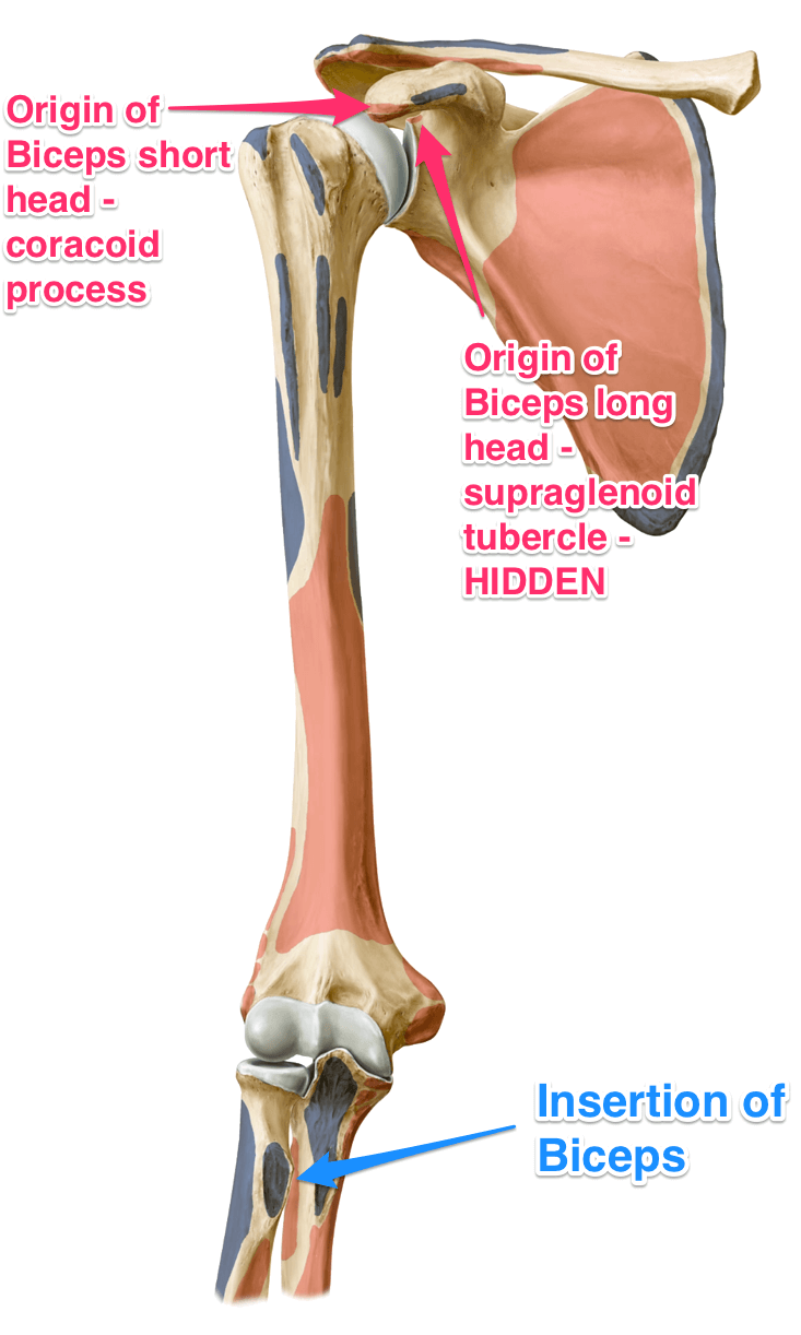the biceps brachii muscle - yoganatomy, Human Body