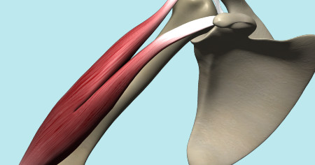 "Featured image for ""The Biceps Brachii Muscle"""