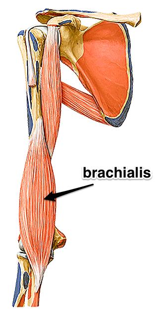 The Brachialis Muscle - Yoganatomy