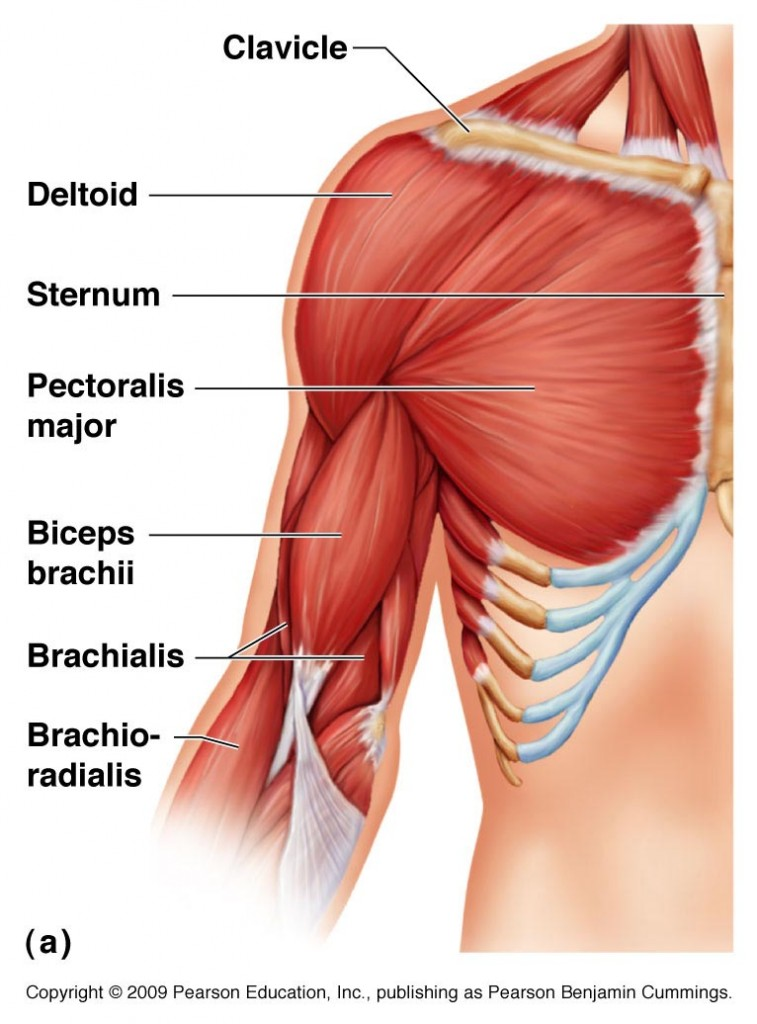 Pectoralis Major Muscle Attachments And Actions Related To Yoga
