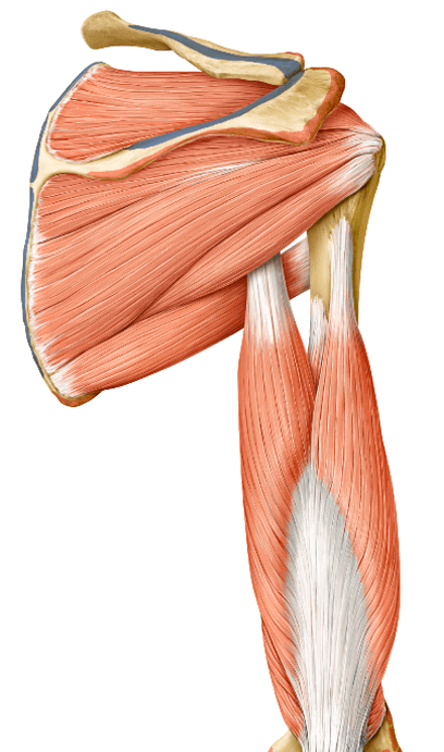 yoga anatomy teres major muscle