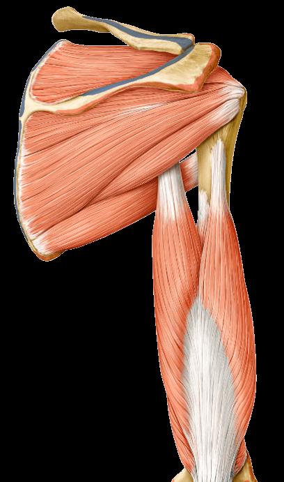 yoga anatomy teres major muscle