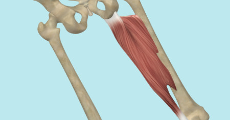 "Featured image for ""Adductor Magnus Muscle"""
