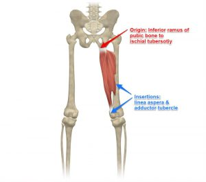 Adductor Magnus Muscle Labeled