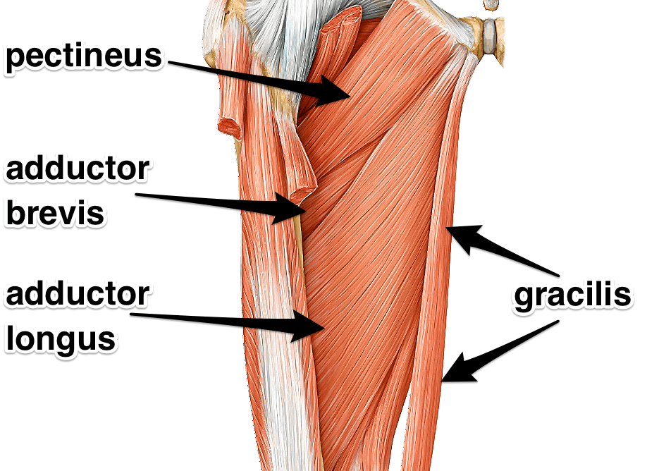 adductors muscles