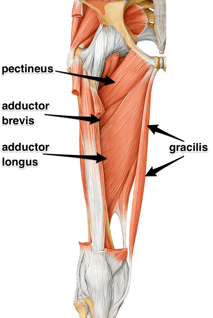adductors-muscles-group