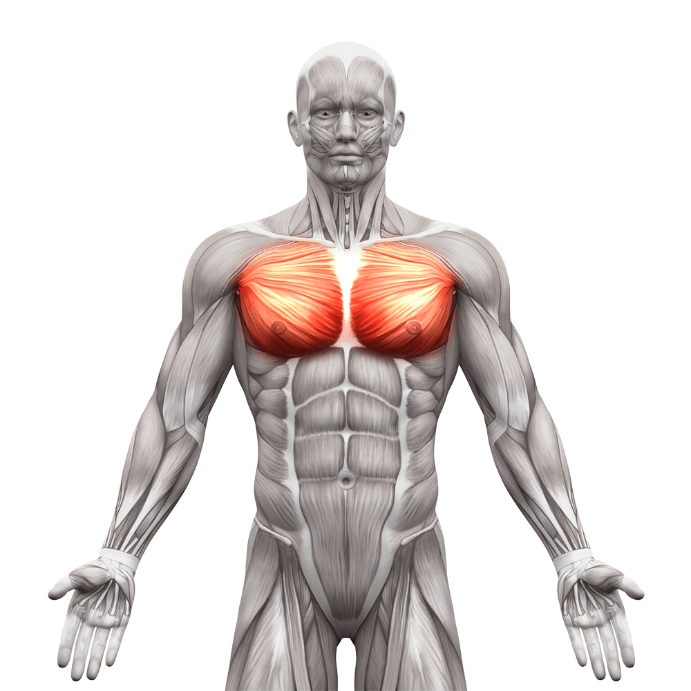 pectoralis-major-muscle
