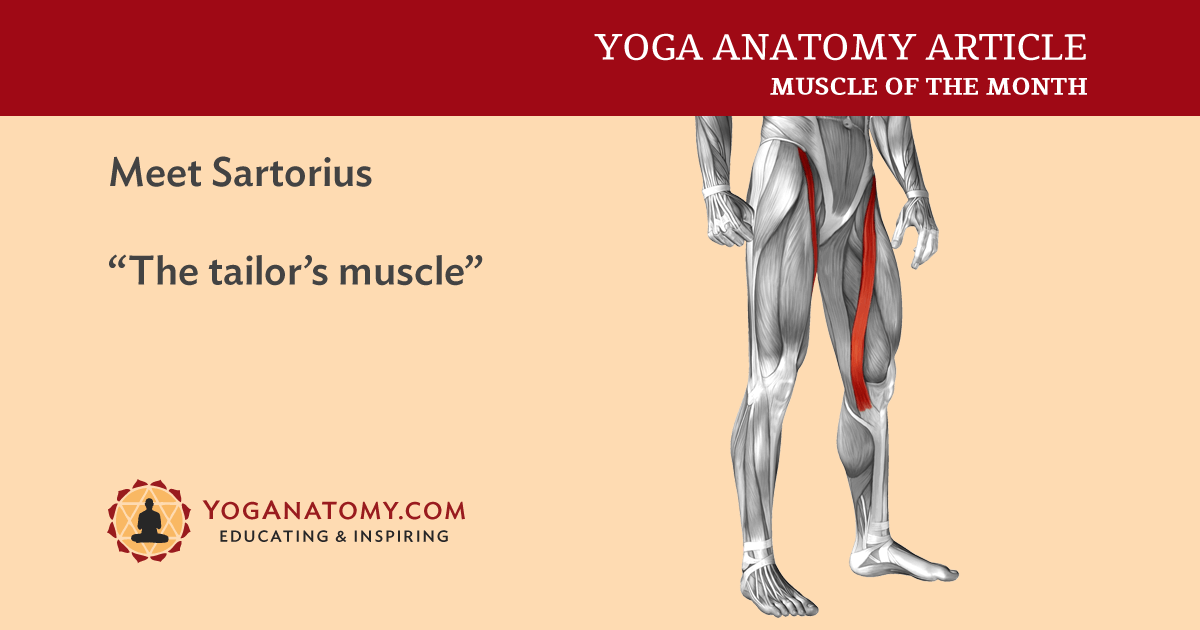 Sartorius Muscle Attachments And Actions As It Relates To Yoga