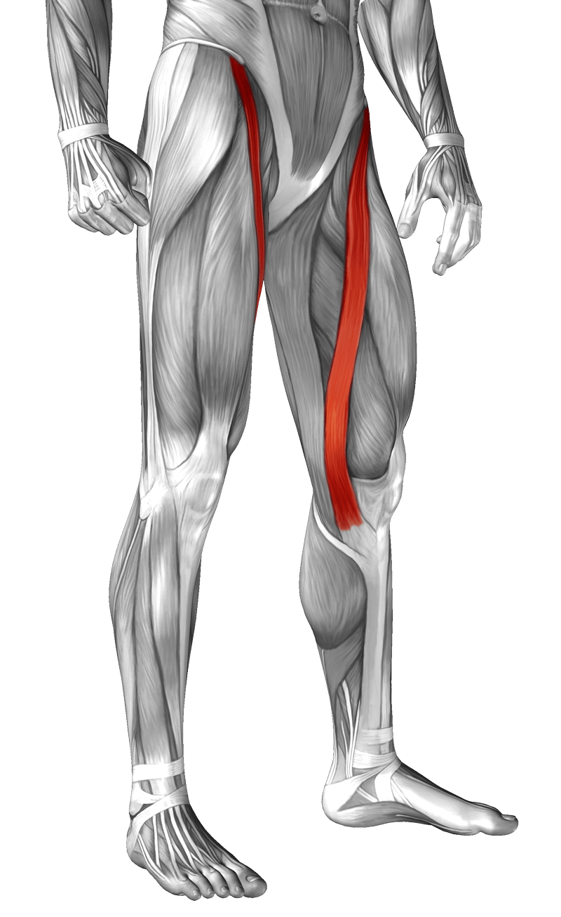 sartorius-muscle-yoga-anatomy