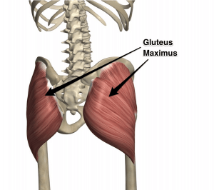 gluteus-maximus-muscle