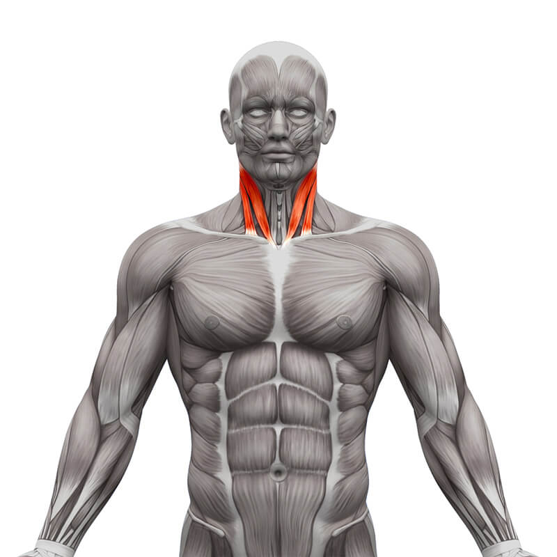Sternocleidomastoid muscle - SCM Muscle