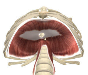 The Diaphragm Muscle Attachments