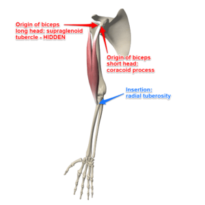 The Biceps Brachii Muscle Attachments