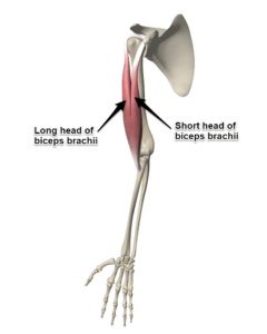 The Biceps Brachii Muscle