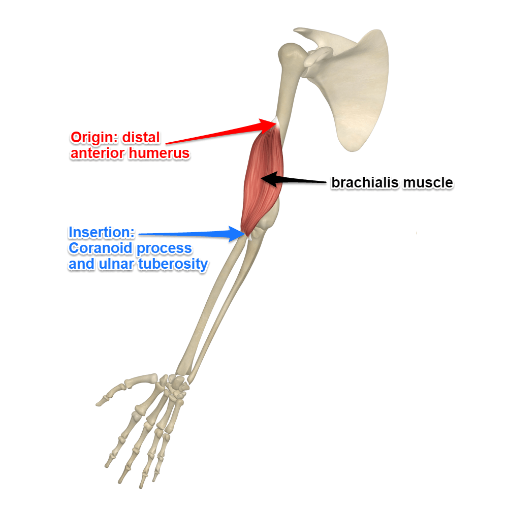 The Brachialis Muscle