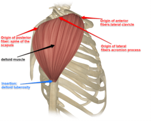 The Deltoid Muscle